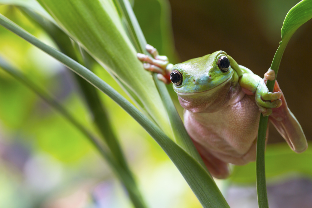 """Biologists recently discovered that the skin of the Australian green tree frog may be as good as a medicine cabinet. It produces a chemical called """"caerin"""" that has been shown to destroy the deadly human immunodeficiency virus (HIV). (Andrew Lam/ Shutterstock)"""