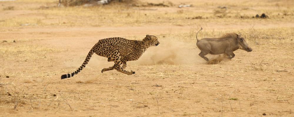 Cheetah chasing a warthog in South Africa. (Dennis Donohue/ Shutterstock)