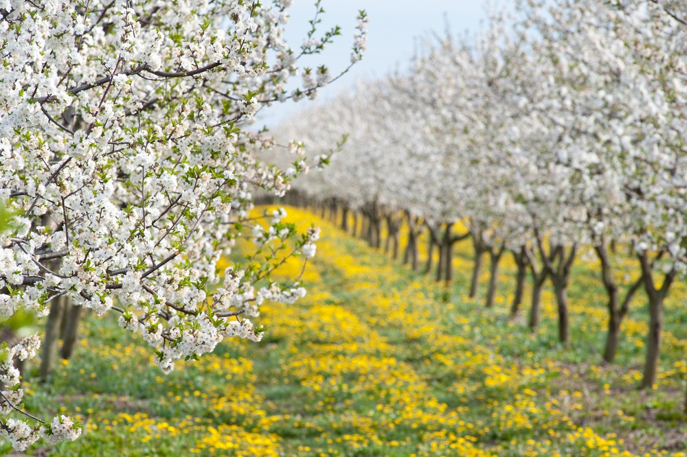 The apple blossoms in this orchard are pollinated by bees. Although wild bees do some of the work, beekeepers are hired to bring hives full of honeybees to sip nectar and transfer pollen from flower to flower. The more flowers that are pollinated, the more apples will grow. (Fotokostic/ Shutterstock)