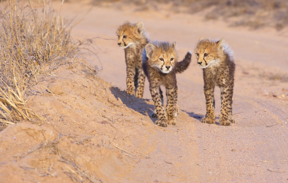Cheetah cubs stay with their mothers for 18 months and then stick together with siblings for a few months longer. Although female cheetahs end up going solo as adults, brothers may stay together for life. (Hedrus/ Shutterstock)
