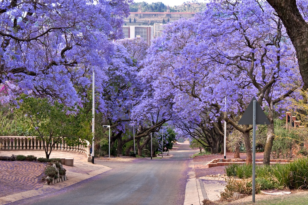 The blue jacaranda tree is also pollinated by bees. In general, bees are most attracted to white, yellow, and blue flowers. Native to South America, the blue jacaranda is a popular street tree in mild-weather cities like Pretoria, South Africa. (Daleen Loest/ Shutterstock)