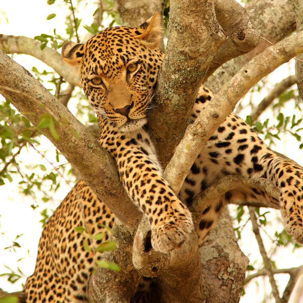 Leopards are great climbers—which is a good thing because they are sometimes chased by lions when they share the same habitat, as they do here on the edge of Kruger National Park in South Africa. Leopards spend much of the daytime resting in trees, and when they have a successful hunt, they may drag the carcass into the branches to prevent other predators—lions and hyenas—from stealing it. (Ewan Chesser/ Shutterstock)