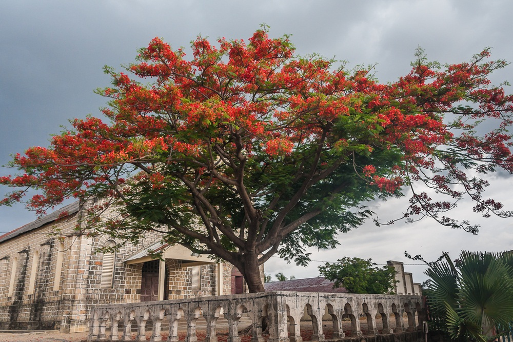 The fiery red-orange blossoms of this tree from Madagascar have made it a popular tree to grow in warm climates worldwide. In different places, it's called the flamboyant tree, royal poinciana, or flame tree. Scientists believe that in the wilds of Madagascar—where it is now endangered due to habitat destruction—the flamboyant tree is pollinated by birds, which are typically most attracted to red and yellow flowers. (Pierre-Yves Babylon/ Shutterstock)