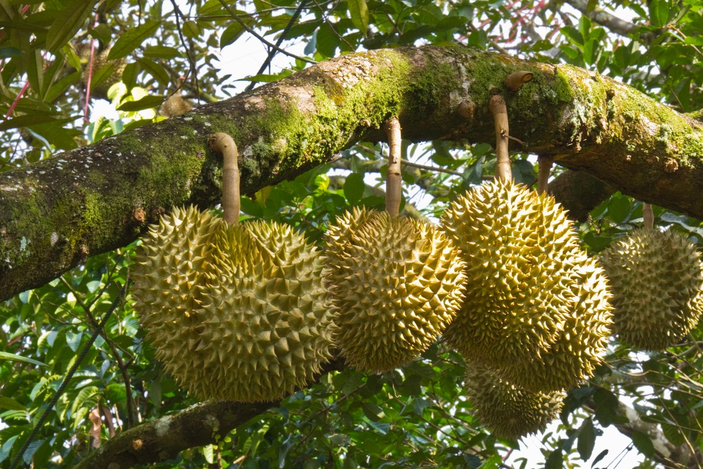 The durian tree produces a football-sized fruit with a spiky husk. Growing in Malaysia, Indonesia, and Borneo, durian fruit is very popular and also very controversial. Many people think it is fragrant and delicious—the best thing they ever ate. But some people think it is stinky and terrible tasting—they just can't get used to it. Despite what people think, durian is a favorite food of wild orangutans and elephants. (Matee Nuserm/ Shutterstock)