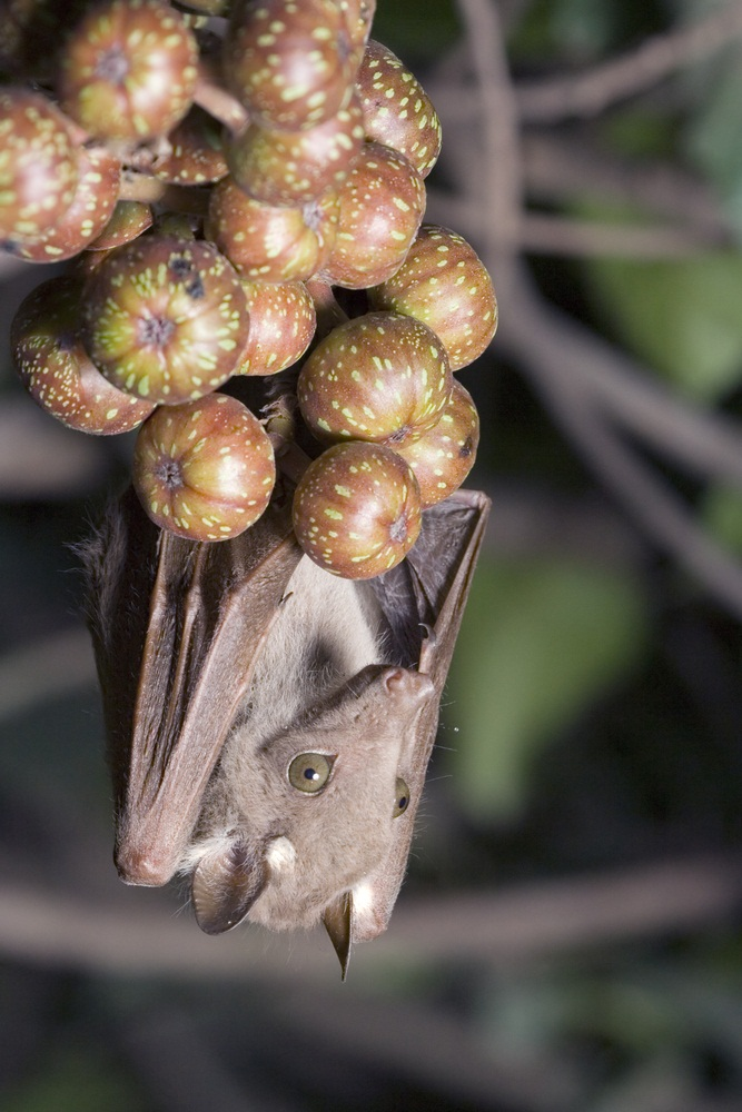 Fruit bats snooze upside-down in the treetops during the day, and dine on fruit at night. This particular species, Wahlberg's epauletted fruit bat, loves figs (pictured) and guavas. (Ivan Kuzman/ Shutterstock)