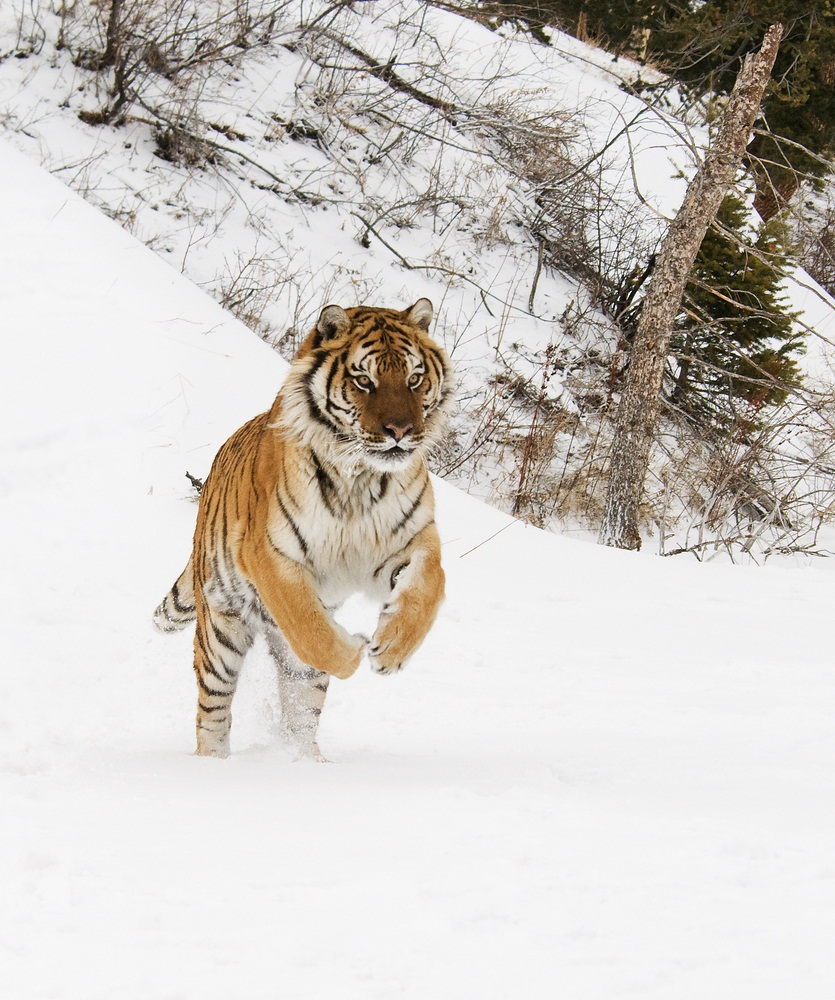 Siberian tigers grow bigger than any other tiger. More than 9 feet long from their nose to the tip of their tail, they can weigh 600 pounds. This subspecies lives only in the chilly woodlands of the Russian Far East and in tiny areas of China and North Korea. Only a few hundred Siberian tigers survive in the wild. (Scott E Read/ Shutterstock)