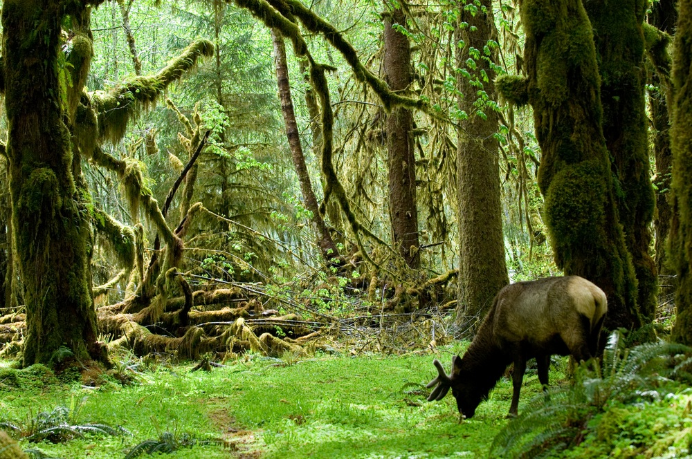These old-growth trees in Washington's Olympic National Park are part of one of the last primeval forests in the continental United States. This forest offers irreplaceable habitat for everything from rare fungi to the Roosevelt elk. (Natalia Bratslavsky/ Shutterstock)