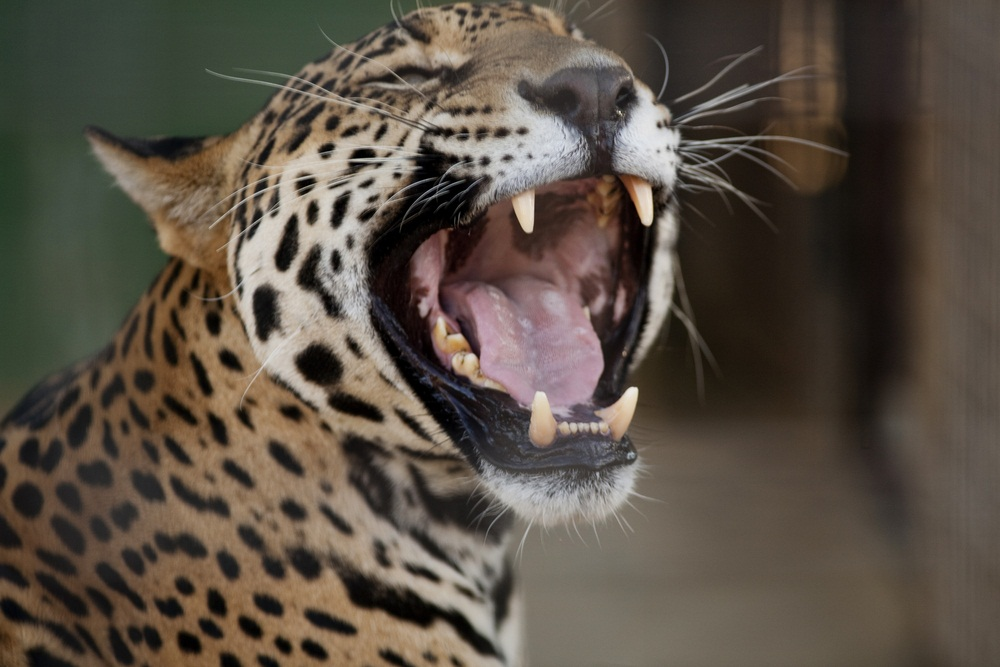 Jaguars have one of the strongest bites of all the big cats and routinely chomp right through the skulls of their prey. This jaguar is showing off its well-developed canine teeth (fangs) and the scissor-like carnassial teeth behind them. The tongues of big cats are very rough so that they can scrape meat off the bones of their kills. (Jose Gil/ Shutterstock)