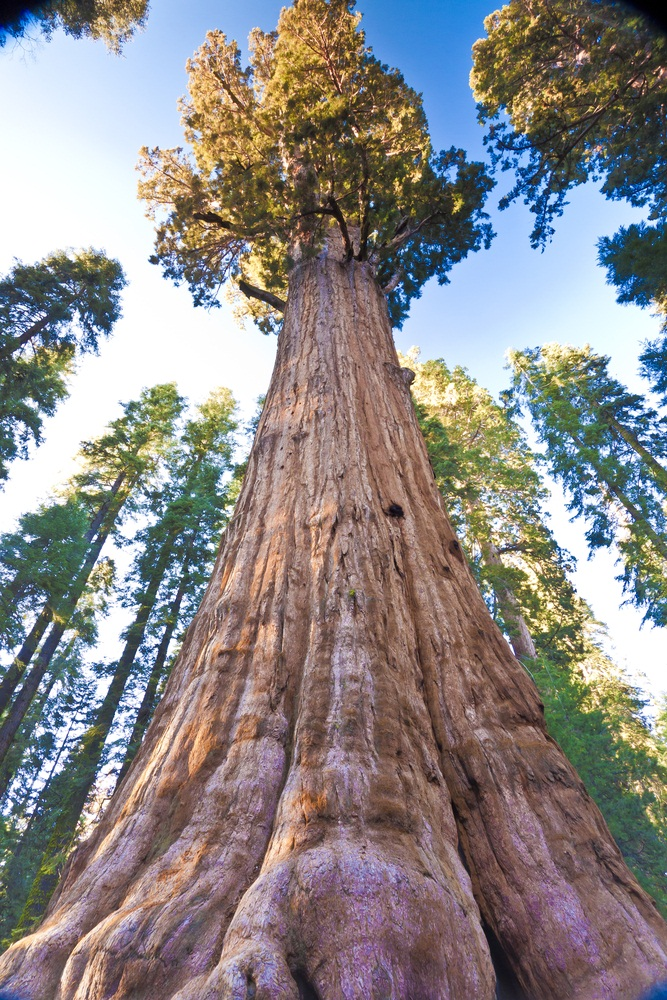 "Of about 25,000 different species of trees worldwide, giant sequoias grow the biggest. This particular tree, named General Sherman, is the biggest of them all. Living in the ""Giant Forest"" in California's Sequoia National Park, it is 275 feet tall, about 2,500 years old, and estimated to weigh over 4 million pounds. (MountainHardcore/ Shutterstock)"