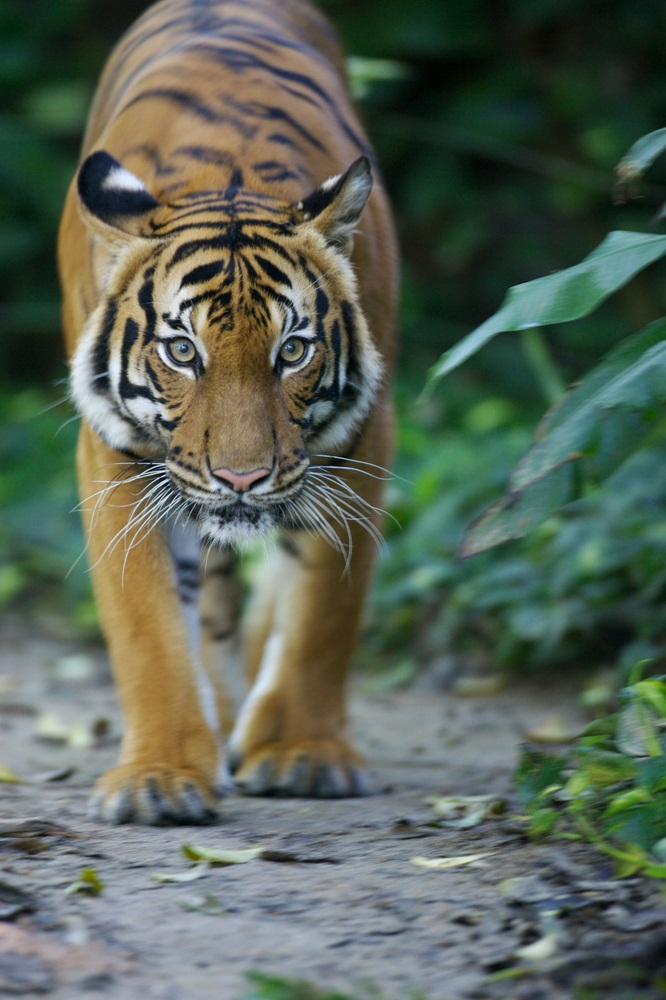 Tigers have big heads, massive paws, and razor-sharp claws. Their front legs are very muscular, and they use them to wrestle down prey. Their hind legs are long and strong, making tigers impressive jumpers. They can leap as far as 30 feet forward and 12 feet high. (Kitch Bain/ Shutterstock)