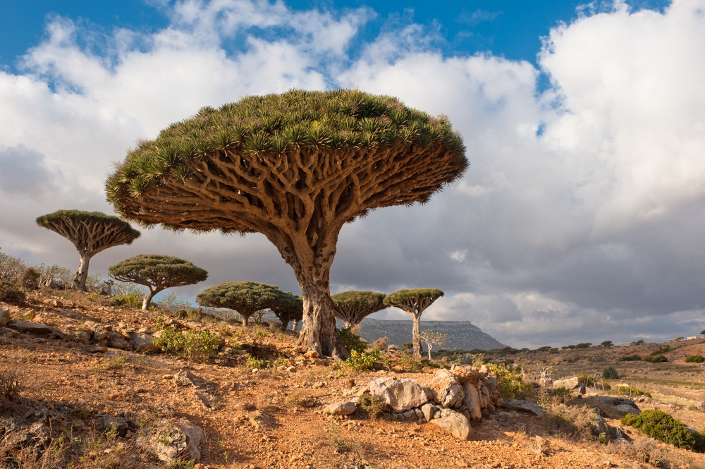 "Are these trees masquerading as mushrooms? Living only on Socotra Island in the Indian Ocean, the ""dragon's blood tree"" gets its name from its red sap. Slow-growing and able to survive in the island's rocky soil, these trees are believed to be hundreds of years old. (Javarman/ Shutterstock)"