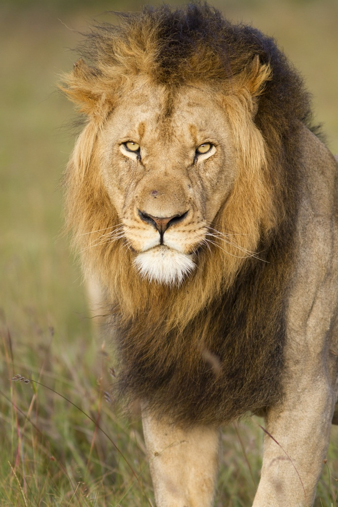 Among most species of big cats, males and females look pretty much alike. Not so with lions. In addition to being bigger and heavier than females, male lions have manes. The leaders of prides typically have the longest, darkest manes—marking them as the strongest and most ferocious males around. (Jason Prince/ Shutterstock)