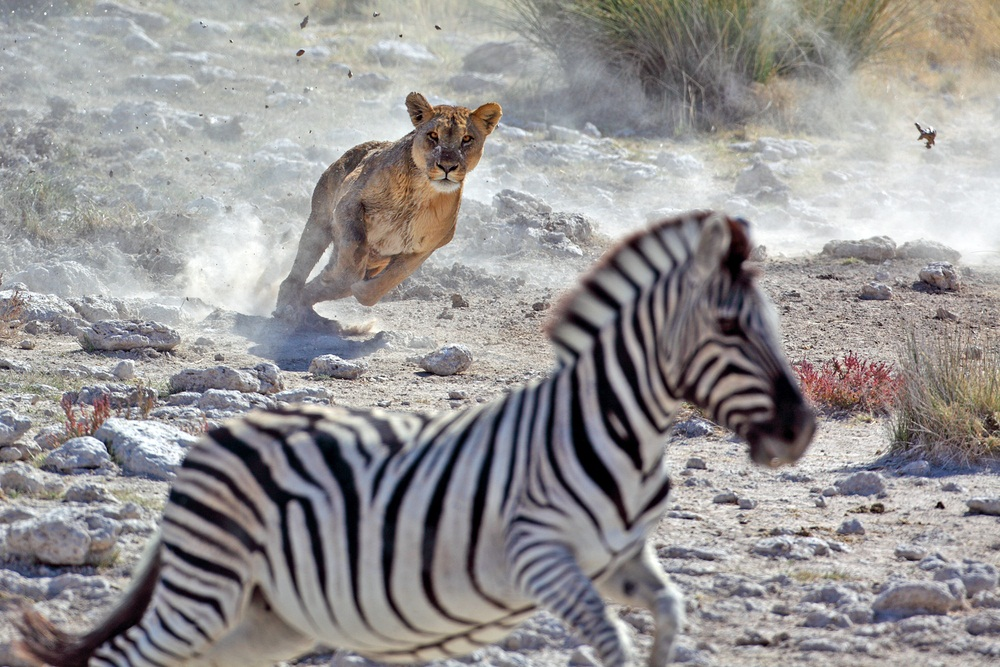 Lions can run fast, but not for long. They can cover the length of a football field in six seconds—but then they're pooped out. Zebras and most other prey species can run faster and farther. That's why lions use teamwork to ambush their prey. (Mogens Trolle/ Shutterstock)