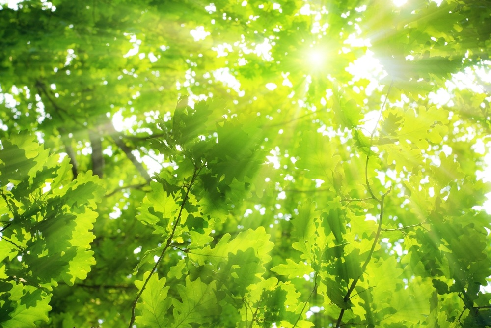 Oak trees produce a huge number of leaves. Leaf shape and size are adjusted to capture the most sunlight without letting the leaves get too dried out. The leaves at the top of the tree—the ones catching the most rays—are often small to prevent water loss. Leaves in cooler, shadier spots lower down are bigger to snag as much light as possible. (Igor Zh/ Shutterstock)