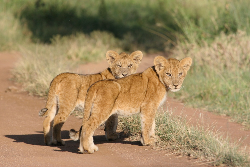 Lion cubs stay with their mothers for as long as two years. During that time, they can be very vulnerable—and the mother lion needs to watch out for predators, such as hyenas, who might go after the cubs if they're left alone. (Jl de Wet/ Shutterstock)