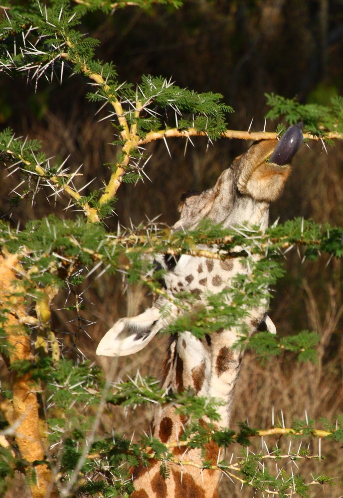Because leaves are so important for producing food for a tree, many species have strategies to stop plant-eaters from grabbing a bite. But animals have counter-strategies. The acacia tree grows needle-like thorns to protect its tiny leaves. Does this giraffe care? Not really. Its 18-inch-long tongue and tough, extra-mobile lips help it maneuver around the sharp spikes. (Mohamed Zain/ Shutterstock)
