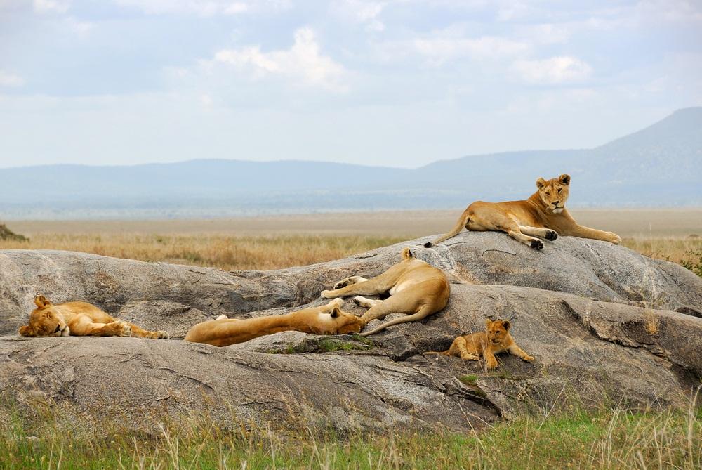 Lions sleep as much as 20 hours a day. (Oleg Znamenskiy / Shutterstock)