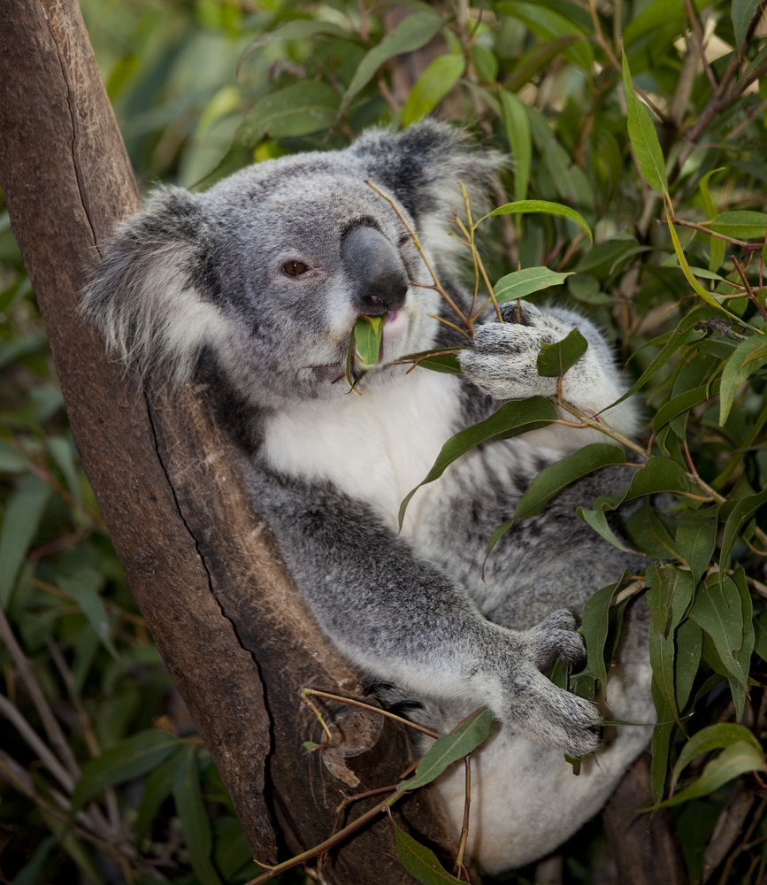 Koalas spend their entire lives in eucalyptus trees, snoozing in their branches and eating their leaves. One koala can eat 1,000 eucalyptus leaves per day! So how do koalas do this when the leaves are poisonous to most mammals and almost impossible to digest? Special bacteria in the koalas' intestines and their tough livers make the leaves tasty, not toxic. (Mark Higgins/ Shutterstock)