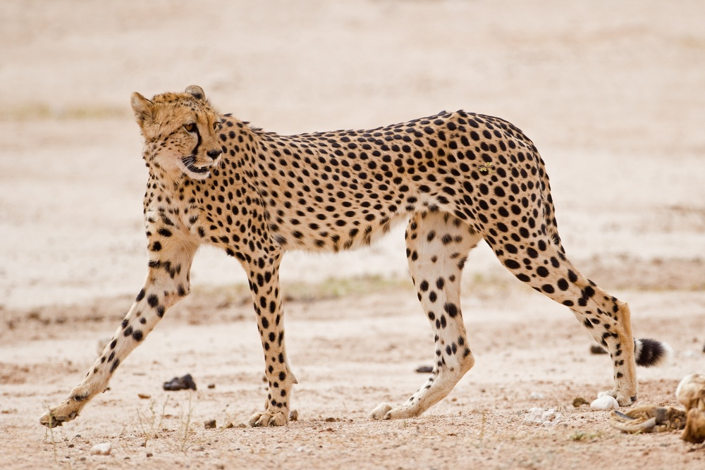 Cheetahs are built for extreme speed and agility. Much lighter in weight than other big cats, cheetahs have narrow, rangy bodies with very long legs. All four paws leave the ground when they're running, and they can cover 20 feet in a single bound. (Gerrit de Vries/ Shutterstock)