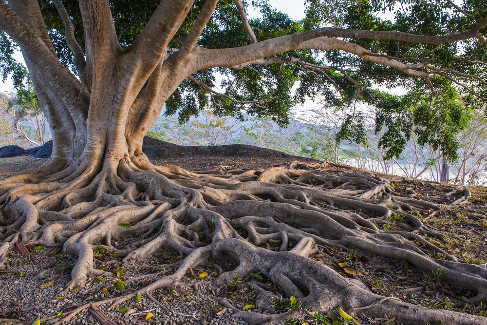 A tree's roots need help collecting nutrients from the soil. In a special relationship with underground fungi, the roots pass on sugar in exchange for minerals that the fungi produce, such as nitrogen. This tree's roots have been exposed by soil erosion. (Siambizkit/ Shutterstock)