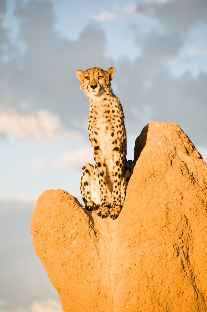 Cheetahs are the only big cats that regularly hunt during the daytime. When hunting, they often sit atop termite mounds to get a better view. Their eyesight is tremendous. Cheetahs can spot moving prey as far as three miles away. (Keith Wheatley/ Shutterstock)