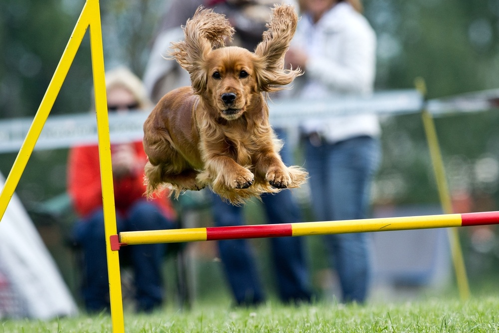 Not feeling like competing yourself? Maybe your canine companion is an athlete. In dog agility contests, pooches complete colorful obstacles courses with hurdles, ramps, teeter-totters, and weave poles. (Castka/ Shutterstock)