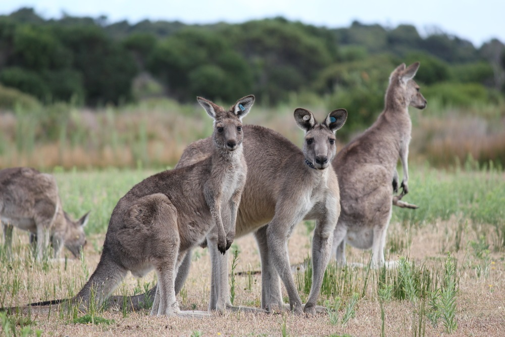 "These eastern gray kangaroos are just one of over 40 species of kangaroo-like animals, living in Australia's savannas—better known as ""the bush."" Want to know something strange? While kangaroos still have the hair-trigger ability to leap out of danger and escape the sharp teeth of carnivores, most of the kangaroos' predators have gone extinct. (Robyn Butler/ Shutterstock)"