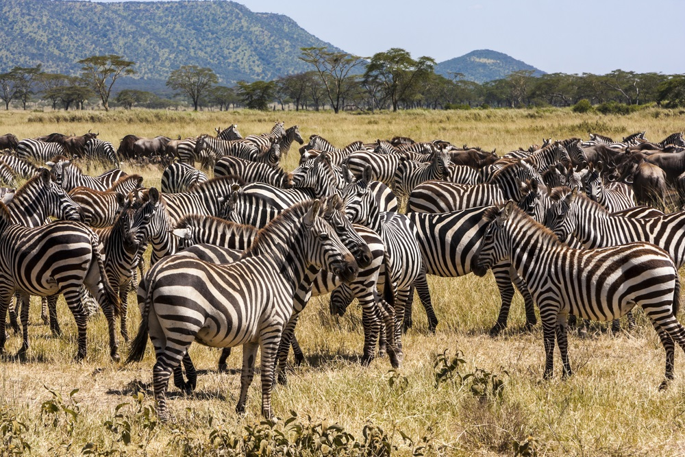 Every year, 300,000 zebra and 1 million wildebeest in Africa's Serengeti Plain embark on an extended migration. To find water and green grass, they must cross the Mara River. But the crossing is dangerous, with some animals swept away by strong currents and a few attacked by crocodiles. (GTS Production/ Shutterstock)