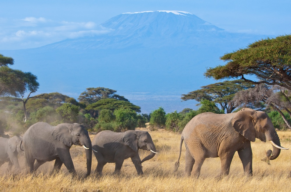 These African elephants are on the move in the savanna beneath Africa's Mount Kilimanjaro. During the rainy season, elephants get about 50 percent of their diet from grasses. In the dry season, they rely more on trees and shrubs for food.  (Francois Gagnon/ Shutterstock)