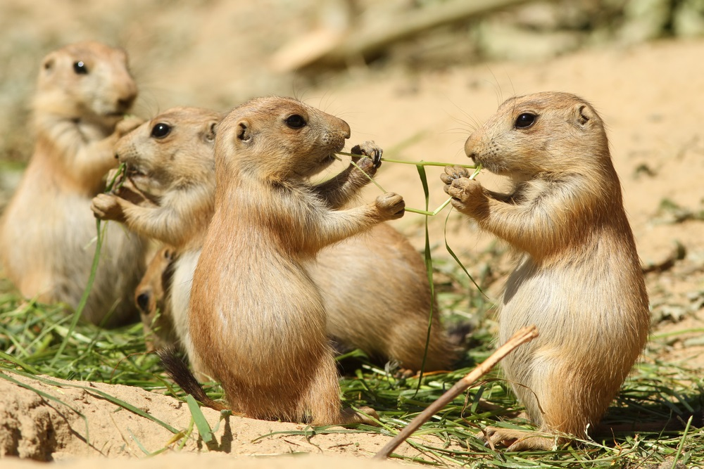 "Groups of prairie dogs live together in extensive underground burrows, called ""towns."" When they come out to eat, one prairie dog stands guard and makes warning whistles if it senses danger. (Henk Bentlage/ Shutterstock)"