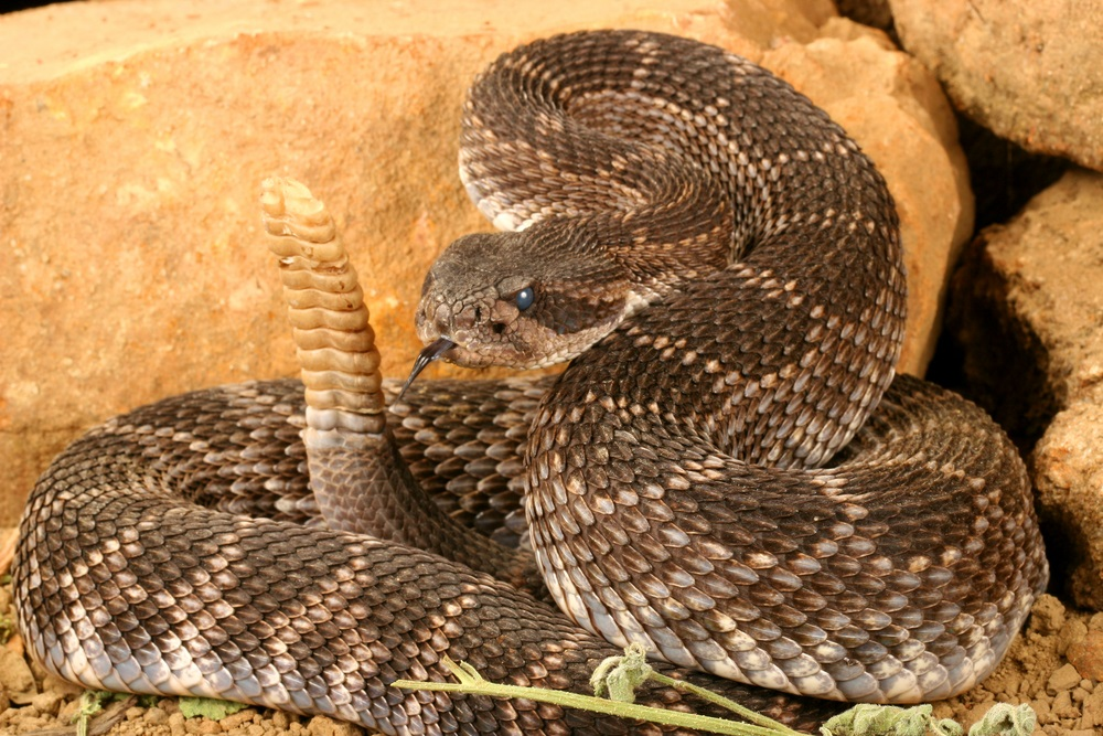 One of many sub-species of rattlesnake, the black diamond rattler hunts rodents in California's chaparral at night. If disturbed or threatened, it will vibrate the rattle at the end of its tail as a warning. Its venom is extremely toxic. (Audrey Snider-Bell/ Shutterstock)