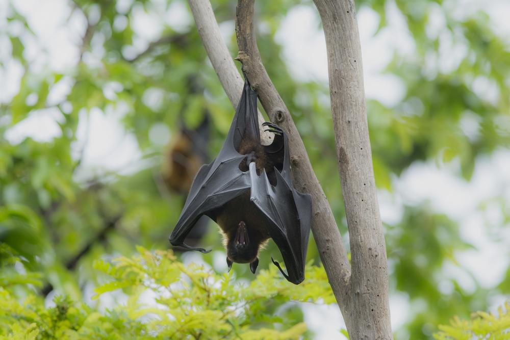 Nature's Spooks, Part 2: Bats | Kids Discover