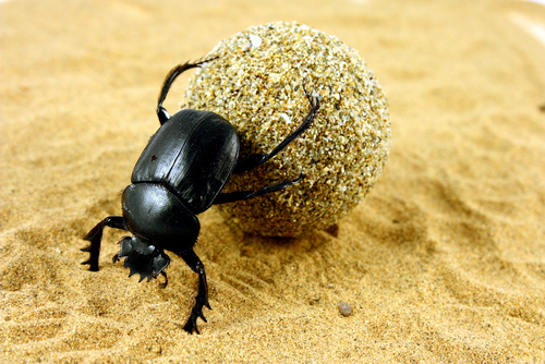 The Sacred Dung Beetles Of Ancient Egypt Kids Discover