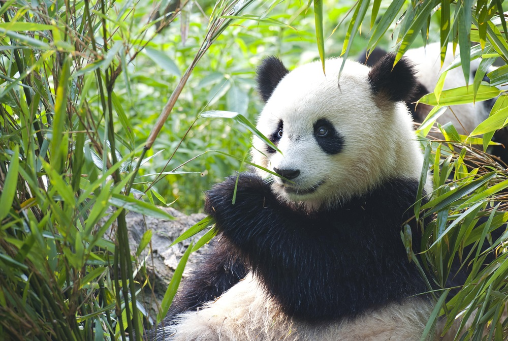 All other bears are meat-eaters. But panda bears pretty much eat just one thing: bamboo. How do they survive on that diet? Pandas can extract energy from bamboo thanks to their microbiomes. Scientists recently discovered special microbes that can break down cellulose in the pandas' guts. (Hung Chung Chi/ Shutterstock)