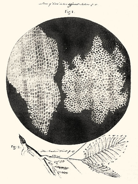 "There was no photography when Robert Hooke saw plant cells through his microscope in 1665. So he drew a picture of what they looked like, and he published his work in a book called Micrographia. He wrote, ""these pores, or cells . . . were indeed the first microscopical pores I ever saw, and perhaps, that were ever seen."" (Illustration via Wikipedia)"