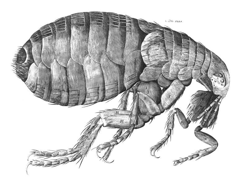 Hooke drew hundreds of pictures of what he saw through his microscopes. This drawing of a flea is one of his most famous. His big pictures of tiny things inspired many other scientists to start looking at the microscopic world. (Illustration via Wikipedia)