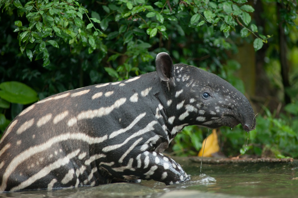 The Kerinci Seblat National Park in Indonesia is home to five volcanoes, rare tigers, elephants, rhinos, sun bears, flying foxes, and clouded leopards, as well as the corpse flower, the world's largest (and worst-smelling) bloom. The young Malayan tapir shown here lives in a zoo, but wild tapirs are among the many endangered species that thrive in the protected forests of Kerinci Seblat.  (Arun Noisri/ Shutterstock)