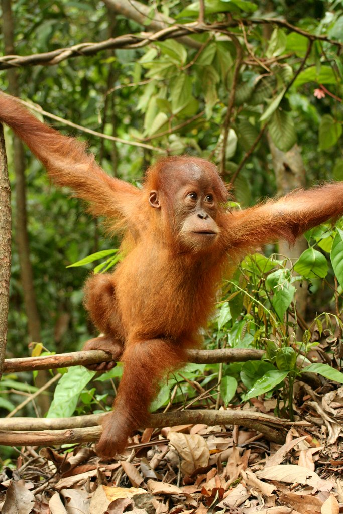 This young Sumatran orangutan lives in Indonesia's Gunung Leuser National Park. Sumatran orangutans are critically endangered and only about 7,000 survive in the wild. (Image via Wikipedia)