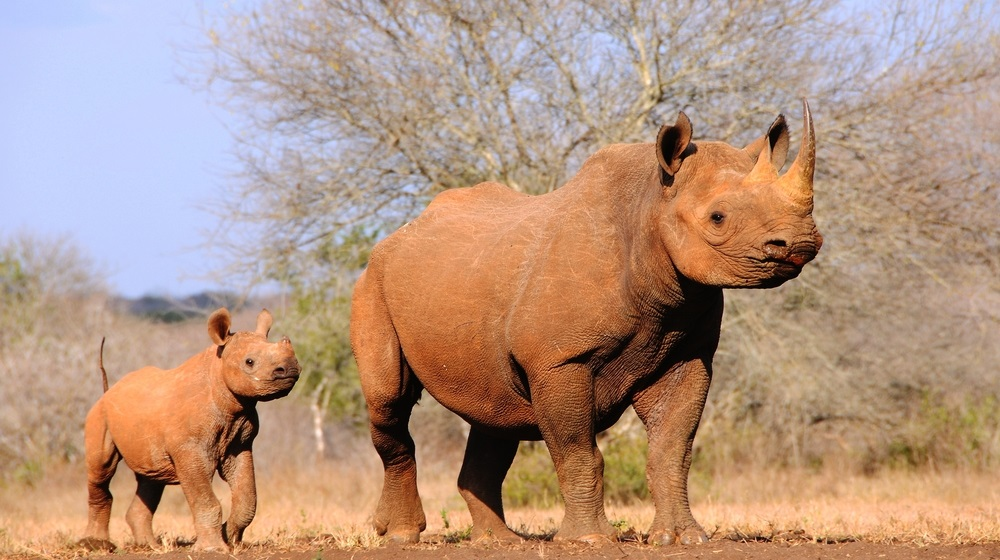 At the Mkomazi Rhino Sanctuary in Tanzania, endangered black rhinos are protected from poachers and have habitat to roam.  (Jiri Balek/ Shutterstock)