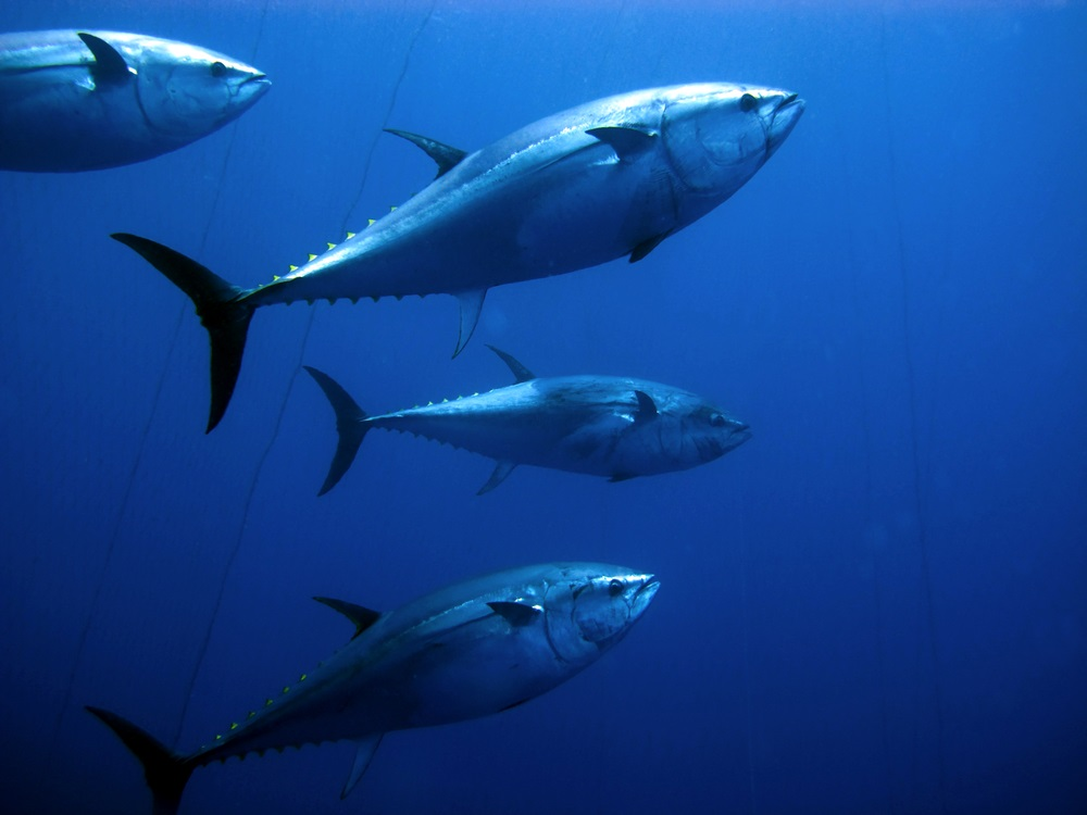Torpedo-shaped and very fast, bluefin tuna can retract their fins to reduce drag when they have a need for speed. When chasing prey, they reach speeds up to 45 mph. (Ugo Montaldo/ Shutterstock)