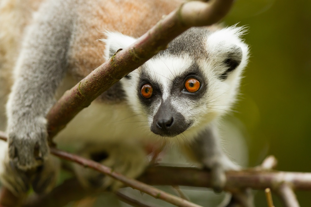 In Madagascar, the ring-tailed lemur is facing a triple threat. 1. The lemurs' forest home has shrunk due to logging. 2. They are being illegally captured and sold as pets. 3. People are hunting lemurs and eating them for food. Of 104 lemur species on Madagascar, 94 are at risk of extinction. (Micha Klootwijk/ Shutterstock)