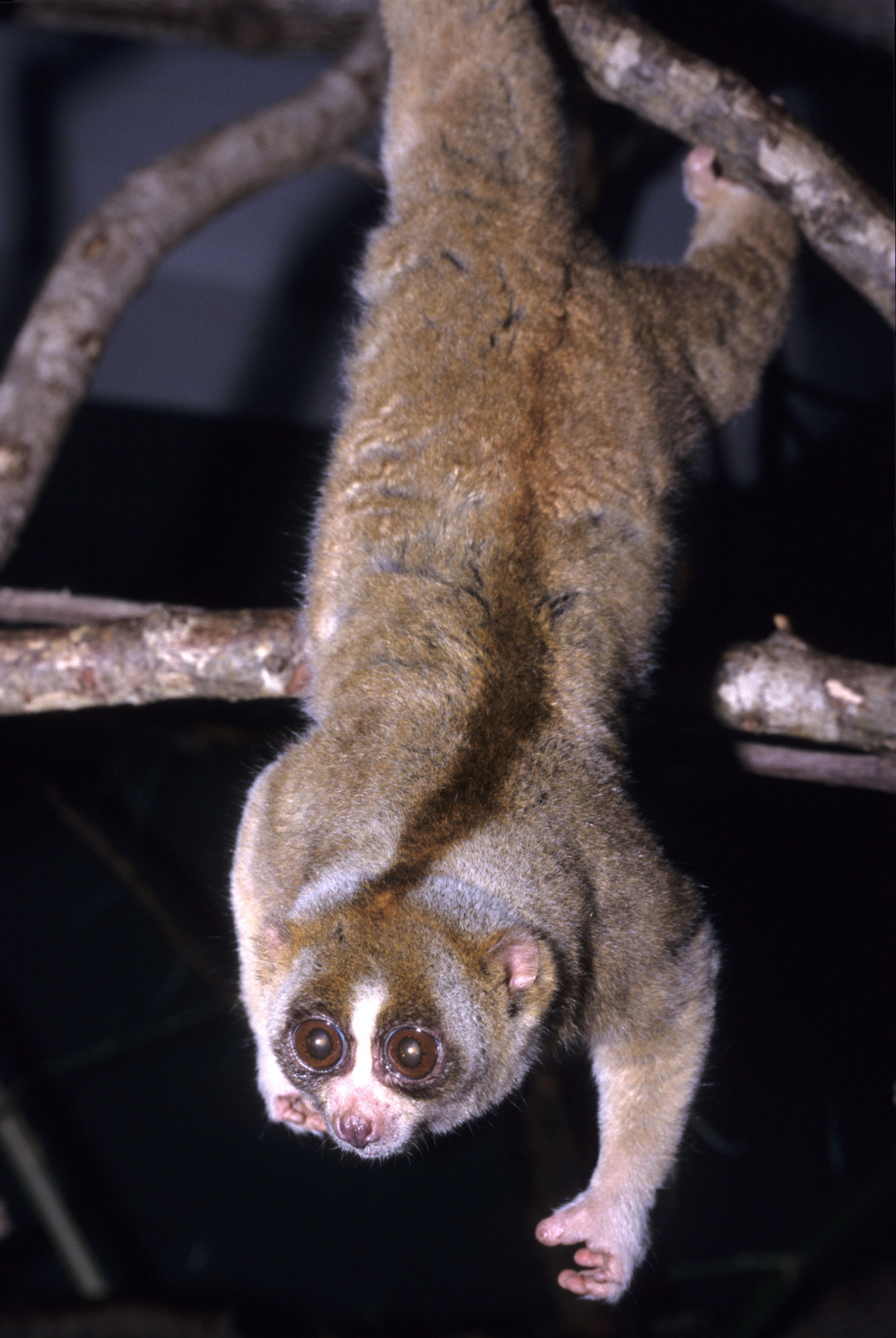 "Native to the tropical forests of Indonesia, Malaysia, Thailand, and Singapore, the slow loris is the world's only venomous primate. Despite their toxic bite which can protect them from predators, they are endangered by the illegal pet trade. After taking baby lorises out of the wild, animal poachers will clip out their teeth to stop them from biting—and the lorises frequently die or get sick from the procedure. Sadly, viral videos on the Web—showing ""cute,"" captive lorises—are fueling the illegal trafficking. (Image via Wikipedia)"