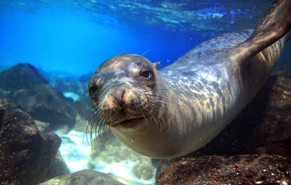 This Galápagos sea lion is categorized as endangered on the IUCN Red List. In the 19th century, the biologist Charles Darwin developed his theory of evolution after visiting the Galápagos Islands and saw how species had adapted to conditions on the different islands.  (Longjourneys/ Shutterstock)