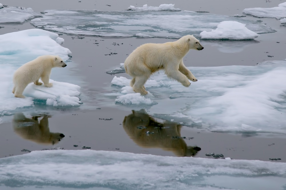 "Polar bears use the summer sea ice in the Arctic as a platform for hunting seals. But due to global warming, this specialized habitat is shrinking. Now listed as ""threatened"" under the U.S. Endangered Species Act, the polar bear was the first species added to list because of the risk posed by global warming. (FloridaStock/ Shutterstock)"