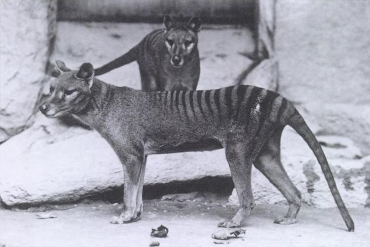 EXTINCT. The Tasmanian tiger looks like a mashup of a tiger and a wolf. But it is more closely related to kangaroos. Like kangaroos, Tasmanian tigers were marsupials with pouches on their bellies in which they raised their young. When settlers arrived on the island of Tasmania in the 1800s, Tasmanian tigers were treated like pests and the settlers hunted them to extinction. The last Tasmanian tiger to be seen alive died in a zoo in 1936.  (Image via Wikipedia)