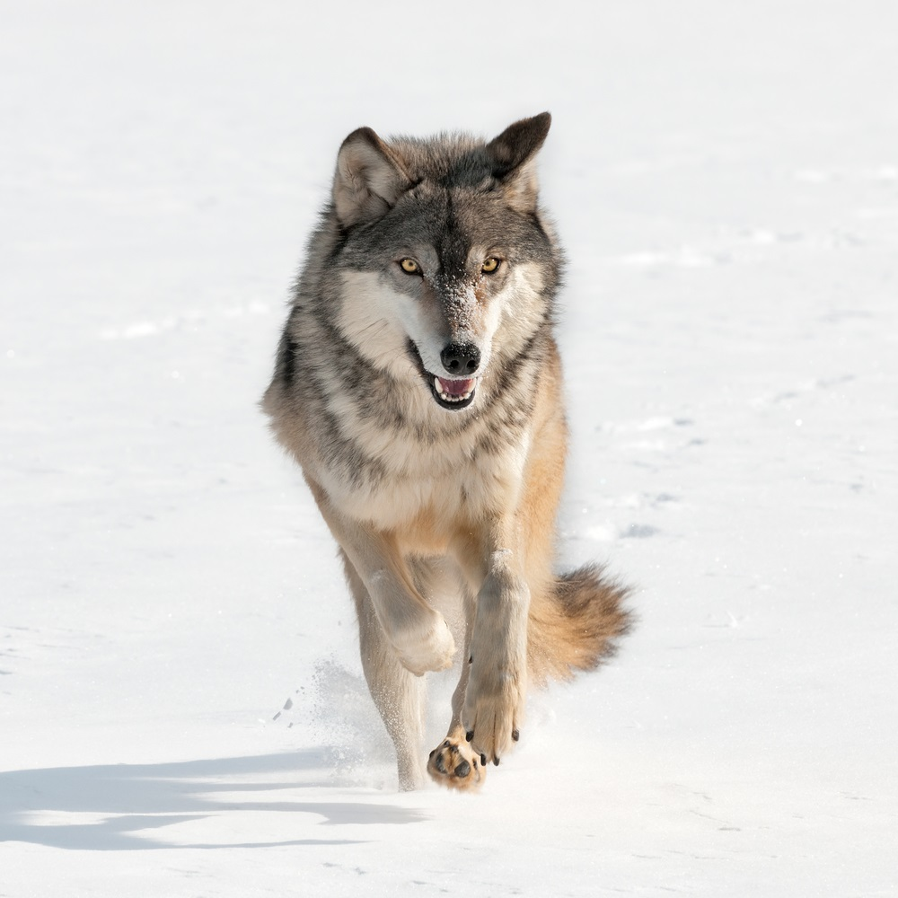 "When a species no longer lives in a particular part of its range, it is considered ""locally extinct,"" or extirpated. An example of that is the wolf in most parts of the United States, Mexico, and Europe. The wolf is not extinct but has been extirpated from many areas where it once lived. Yellowstone National Park was one such area. In the 1990s, wildlife biologists brought wolves from Canada to live in Yellowstone. Today, about 300 wolves make Yellowstone their home. (Holly Kuchera/ Shutterstock)"