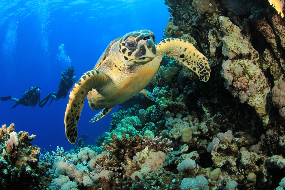 The hawksbill sea turtle is a critically endangered species. These sea turtles find a lot of their food in coral reefs, a vanishing and endangered underwater habitat. They lay their eggs on tropical beaches—but more and more of these beaches have been taken over for tourism and development. (Rich Carey/ Shutterstock)