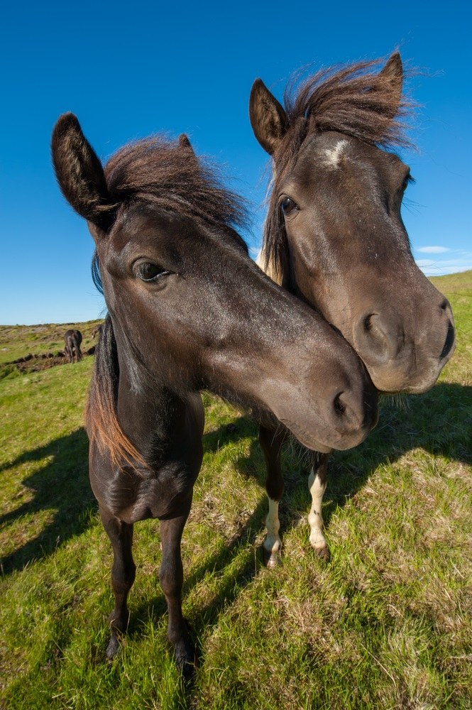 Many animals—horses, rabbits, kangaroos—have muscles that allow them to swivel their ears toward a sound without turning their heads. This is handy when they want to listen for danger. Here's an interesting fact: Human ears aren't really built for swiveling, but the muscles are there and some people can wiggle their ears just a little. Are you one of them? (Filip Fuxa/ Shutterstock)