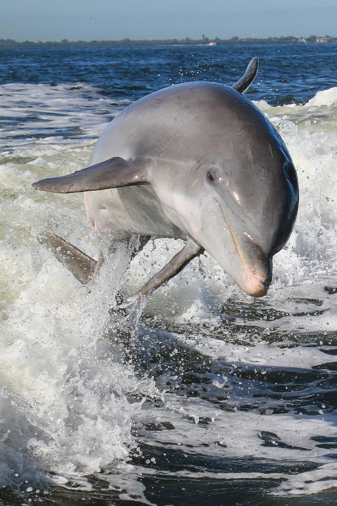 """Dolphins use echolocation underwater to find food and navigate. Dolphins make rapid-fire clicking noises, called """"click trains"""" at different pitches. The higher the pitch, or frequency, the more detail they can get back about the object—and the smaller the object they can locate. Dolphins can hear frequencies as high as 200,000 Hz. (Tory Kallman/ Shutterstock)"""
