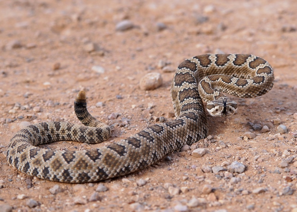 A rattlesnake shakes the end of its tail—making a telltale rattling sound—to warn other creatures not to come any closer.  (Matt Jeppson/ Shutterstock)